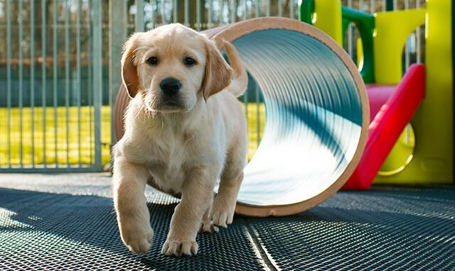 Banjo  – az első hivatalos Toyota támogatású vakvezető kutya